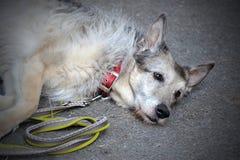 Le vieux berger Dog a fatigué, se trouvant sur le fond gris Photos stock