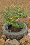 Le vieux caoutchouc, idée de réutiliser du pneu utilisé avec des fleurs ou usine dedans photo libre de droits