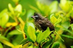 Le vieux cardinal de neuf jours était perché sur une branche après avoir laissé le nid Image stock