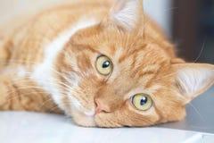 Le vieux chat jaune regarde avec les yeux image stock