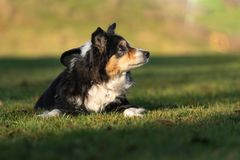 Le vieux chien même se situe dans l'herbe en automne image libre de droits