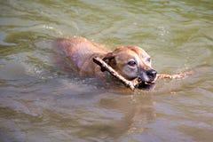Le vieux chien nage avec le bâton Images libres de droits