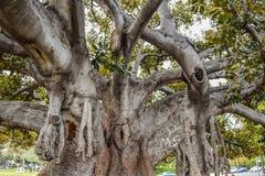 Le vieux ficus de figue de baie de Moreton s'est littéralement développé avec Beverly Hills au cours des années Images libres de droits