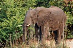 Le vieux, mûrissant l'éléphant africain émerge de la jungle Image libre de droits