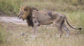 Le vieux mâle blessé de lion se situant dans l'herbe et lèchent ses blessures Photos stock