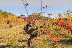 Le vieux tronc d'un buisson de raisin Image libre de droits