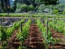 Le vigne del vino del laureato di Stari in Croazia Fotografia Stock Libera da Diritti