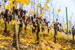Le vigne dell'Alsazia chiudono la vista in autunno, Francia Fotografie Stock