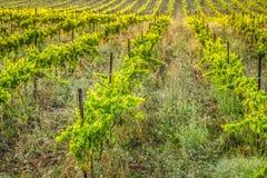 Le vigne lungo l'itinerario famoso del vino nell'Alsazia, Francia Fotografia Stock