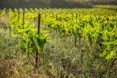 Le vigne lungo l'itinerario famoso del vino nell'Alsazia, Francia Immagine Stock