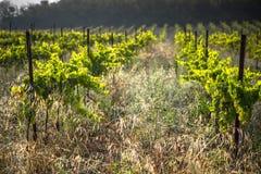 Le vigne lungo l'itinerario famoso del vino nell'Alsazia, Francia Immagini Stock