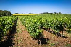 Le vigne lungo l'itinerario famoso del vino nell'Alsazia, Francia Immagine Stock Libera da Diritti