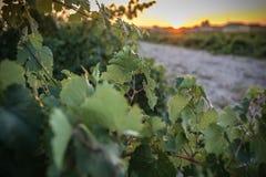 Le vigne nel distretto di Nieva data di Segovia, Spagna a partire dal XII secolo Vini bianchi dell'uva più di alta qualità, fotografia stock libera da diritti