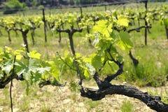 Le vigne in primavera Fotografie Stock Libere da Diritti