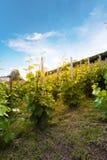 Le vigne sul pendio di collina nell'incandescenza del sole di sera Concetto del vino Immagine Stock