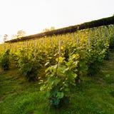 Le vigne sul pendio di collina nell'incandescenza del sole di sera Concetto del vino Fotografia Stock
