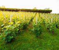 Le vigne sul pendio di collina nell'incandescenza del sole di sera Concetto del vino Immagini Stock