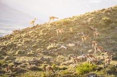 Le vigogna radunano il pascolo sulla montagna al tramonto vicino a Torres del PAine Fotografie Stock