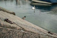 Le vilain petit canard s'est transformé en cygne photo stock
