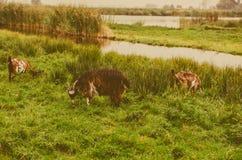Le vintage a modifié la tonalité la photo de la chèvre comme signe de 2015 ans Image stock