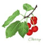 Le vintage sain de consommation de fruit de feuilles et de baies et de fleurs de cerise dirigent l'illustration editable Photo libre de droits