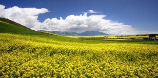 Le viol jaune fleurit dans la vallée des fleurs Photo stock