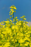Le viol plante no.2 Images stock