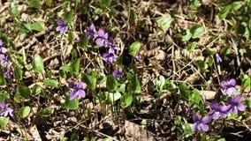 Le viole delle primaverine della primavera si sono sviluppate dal fogliame del ` s dell'anno scorso archivi video