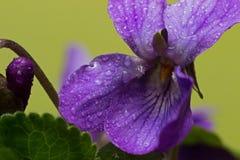 Le viole minuscole, molla è già qui Fotografia Stock Libera da Diritti