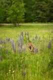 Le virginianus Blanc-coupé la queue de Fawn Odocoileus de cerfs communs fonctionne en avant Image stock