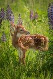 Le virginianus Blanc-coupé la queue de Fawn Odocoileus de cerfs communs se tient toujours Photos libres de droits