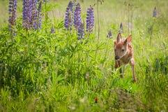 Le virginianus Blanc-coupé la queue de Fawn Odocoileus de cerfs communs marche autour de Lup Images stock