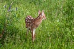 Le virginianus Blanc-coupé la queue de Fawn Odocoileus de cerfs communs regarde en arrière Images stock