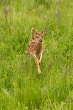 Le virginianus Blanc-coupé la queue de Fawn Odocoileus de cerfs communs saute en avant Images libres de droits