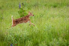 Le virginianus Blanc-coupé la queue de Fawn Odocoileus de cerfs communs saute juste Image stock