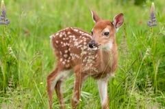 Le virginianus Blanc-coupé la queue de Fawn Odocoileus de cerfs communs se tient à Grasse Images stock