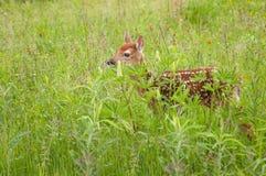 Le virginianus Blanc-coupé la queue de Fawn Odocoileus de cerfs communs se tient dans l'herbe Photos libres de droits