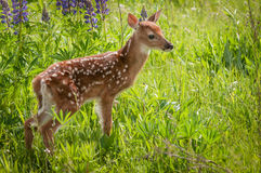 Le virginianus Blanc-coupé la queue de Fawn Odocoileus de cerfs communs se tient vers la droite Photographie stock libre de droits