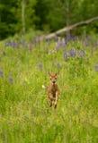 Le virginianus Blanc-coupé la queue de Fawn Odocoileus de cerfs communs bondit par G Photos stock