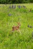 Le virginianus Blanc-coupé la queue de Fawn Odocoileus de cerfs communs saute juste Images stock