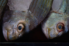 Le visage étroit deux de portrait pêchent le gris, le Bourgogne et la nuance verte avec une bouche fermée et les yeux jaunes sail Photo libre de droits