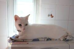 Le visage blanc pur siamois de chats Les yeux impairs de chat a un oeil d'or et un bleu un Animal mignon de concept Photo stock