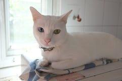 Le visage blanc pur siamois de chats Les yeux impairs de chat a un oeil d'or et un bleu un Animal mignon de concept Photos libres de droits
