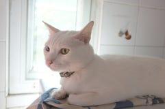 Le visage blanc pur siamois de chats Les yeux impairs de chat a un oeil d'or et un bleu un Animal mignon de concept Image stock