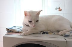 Le visage blanc pur siamois de chats Les yeux impairs de chat a un oeil d'or et un bleu un Animal mignon de concept Images stock