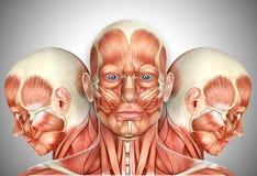 le visage 3d masculin Muscles l'anatomie avec des vues de côté Photographie stock libre de droits