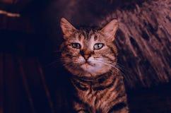 Le visage d'un chat brun image libre de droits