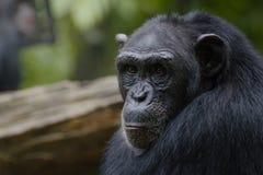 Le visage d'un chimpanzé photographie stock libre de droits