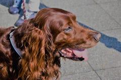 Le visage d'un grand chien brun avec la langue tendue Photos stock