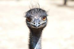 Le visage de l'Emu Photographie stock libre de droits